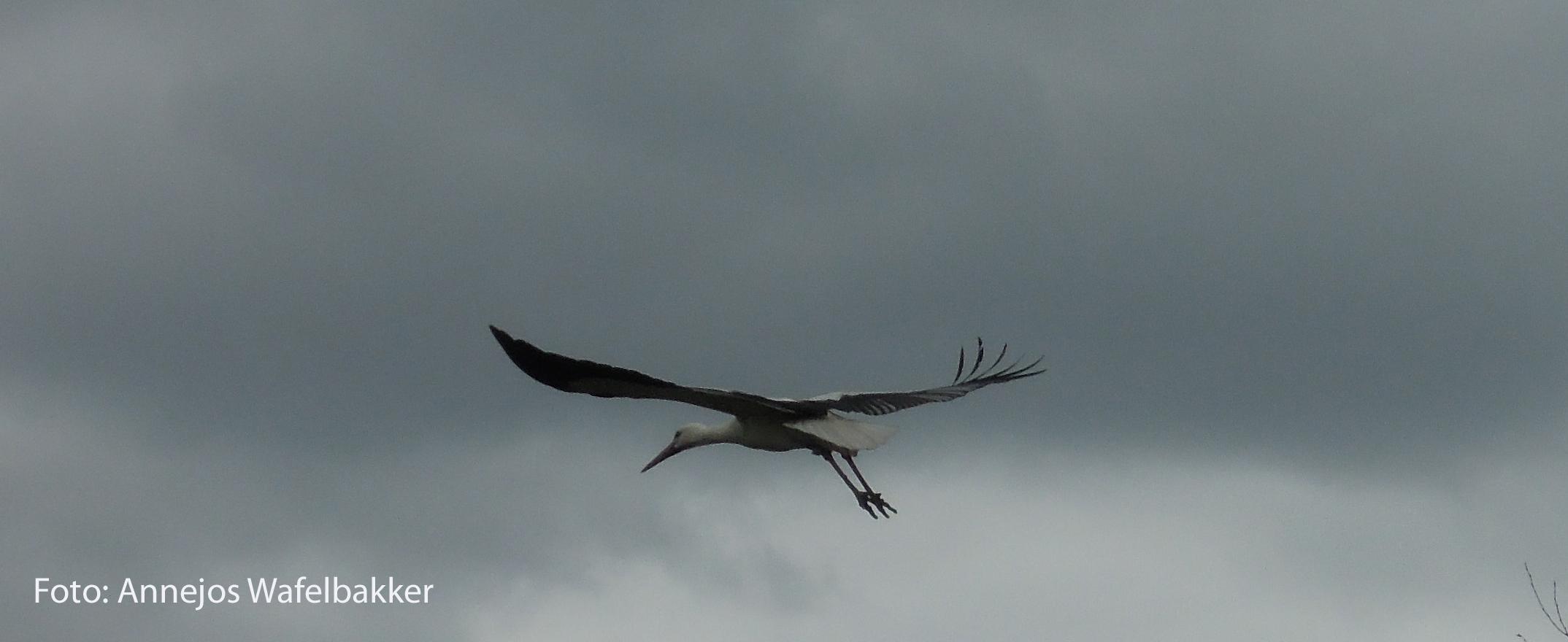 holllander-bronder-grote-grijze-vogel